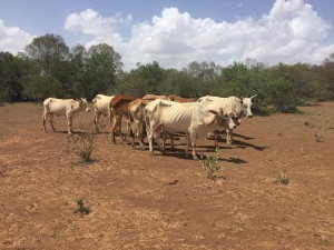 Pastoralists depend on livestock. Giving two families a heifer impacts their livelihoods, particularly during the current drought that is killing off herds.