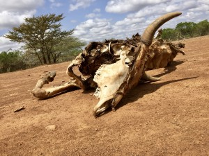 Drought in Samburu County has put tremendous pressure on pastoralists. Despite the decrease in many families' herds, peace has endured due to CPI's peacebuilding programs.