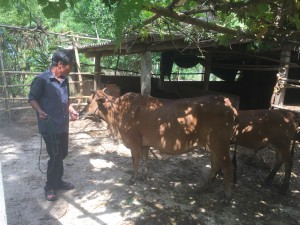 Ngo Gia Hue with his cow and calf.